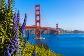 Golden Gate Bridge San Francisco purple flowers Echium candicans in California