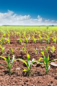 Corn fields sprouts in rows in California agriculture plantation USA