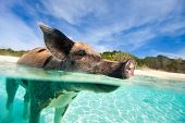 Swimming pig in water at beach on Exuma island Bahamas