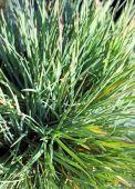 Blue hair grass