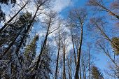 Alder Tree Crowns Snow Wrapped Against Blue Sky