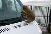 Monkey Plays With Windshield Wiper On White Car