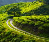 stock photo of darjeeling  - Tea meadow with road and tree on horizon - JPG