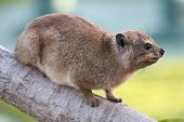Cute Rock Hyrax Animal
