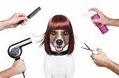 picture of hairspray  - hairdresser dog ready to look beautiful at the spa - JPG