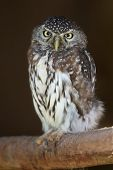 Pearl-spotted Owl Bird
