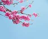 stock photo of judas tree  - Spring flowers  - JPG