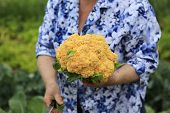 Woman Is Holding Just Cutted Ripe Cauliflower