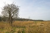 Tree in a field with common reed in winter