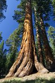image of sequoia-trees  - Giant Sequoia tree in the Mariposa Grove - JPG
