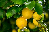 Bunch Of Vibrant Ripe Lemons On Tree