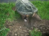 Snapping Turtle, Chelydra S. Serpentina, Laying Eggs