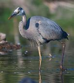 stock photo of bluegill  - Great Blue Heron fishing in the low lake waters.