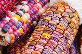 Indian Corn In Soft Focus