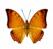 stock photo of malay  - Malay Rajah butterfly upper wing profile in natural color isolated on white background
