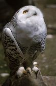 Snowy Owl Looking Up