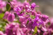 Pink Bougainvillea Bunch