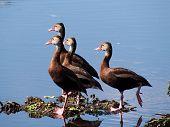 Group of Black-Bellied Whistling Ducks