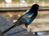 Iridescent Male Boat Tailed Grackle
