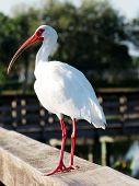 Striking White Ibis