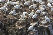Northern gannets nesting, Newfoundland