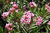 stock photo of oleander  - Oleander - JPG