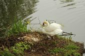 Female swan guards her nest