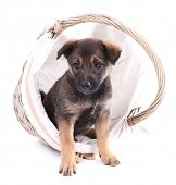 Funny puppy in round braided basket isolated on white