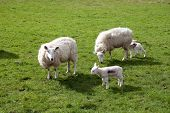 Two Sheep With Young Lambs