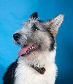 Grey Bearded Dog On Blue