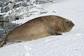 Adult Male Southern Elephant Seal Which Lies In The Snow Antarctic Islands