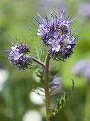 Phacelia tanacetifolia. Closeup of Phacelia or Scorpionweed flower.