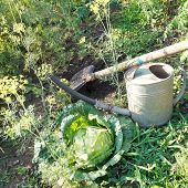 picture of water cabbage  - shovel handshower and cabbage in garden in summer day - JPG