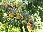 Branch With Ripe Pear Fruits On Tree In Garden