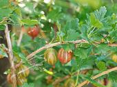 Ripe Gooseberry Berries Close Up In Green Leaves