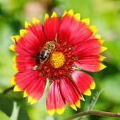 Bee Sips Blossom Nectar From Gaillardia Flower