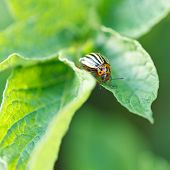 Potato Bug Eating Potatoes Leaves