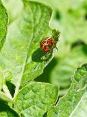 picture of potato bug  - colorado potato beetle eats potatoes leaves in garden