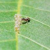 picture of aphid  - ant collects honeydew from aphids group on leaf of walnut tree close up - JPG