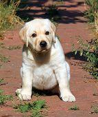 Yellow Labrador Puppy Portrait In The Garden