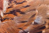 Close Up Feather Of Sparrow For