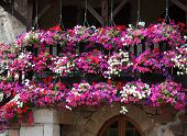 Petunia Curtain On Village Balcony