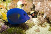 Purple Tang In Aquarium