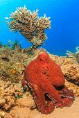 Big Red Octopus.  Abou Lou Lou, Nuweiba, Egypt
