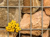 Yellow Flower On Bars In Front Of Rock Wall