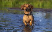 Dachshund runs through the shallows