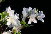 Rhododendron Schlippenbachii (royal Azalea)