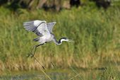 Blackheaded Heron taking off with out of focus reeds behind it