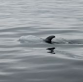 A surfacing Rizzos dolphin