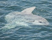 A Giant Mola Mola or Sunfish